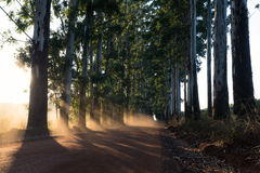 Narrow lane of eucalyptus trees with dust on dirt road Stock Photography