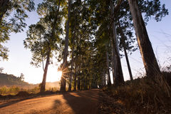 Narrow lane of eucalyptus trees with dust on dirt road Royalty Free Stock Photo