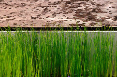 Narrow-leaf cattail with wall and old shingle roof Royalty Free Stock Photo