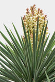 Narrow Leaf Yucca 5 Royalty Free Stock Images