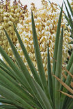 Narrow Leaf Yucca 3 Stock Photography