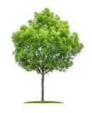 Narrow-leafed ash tree on a white background Stock Image
