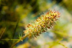 Narrow Leaved Clover, Trifolium Angustifolium. Closeup of a Trifolium Angustifolium, or Narrow Leaved Clover, under the warm italian sun royalty free stock images