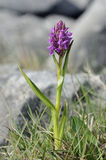 Narrow-leaved Marsh Orchid Stock Images