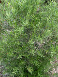 Narrow-leaved mock privet, Phillyrea angustifolia Royalty Free Stock Images