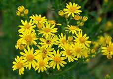 Narrow-leaved Ragwort - Senecio inaequidens. Against a blurred natural background Stock Images