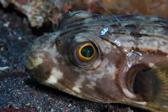 Narrow-lined puffer. (Arothron manilensis) and cleaner shrimp stock images
