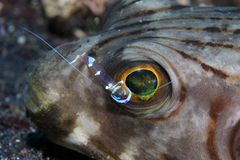 Narrow-lined puffer. (Arothron manilensis) and cleaner shrimp royalty free stock photography