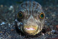 Narrow-lined puffer. (Arothron manilensis) and cleaner shrimp stock image