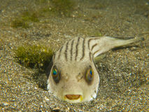 Narrow lined puffer 01 Royalty Free Stock Photography