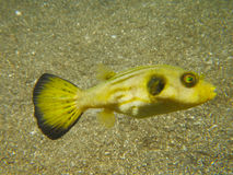 Narrow lined puffer 02 Stock Photo