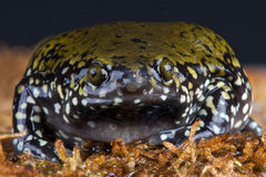 Narrow mouth frog Stock Photo