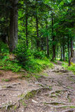 Narrow path in a coniferous forest. With tree roots sprouted across the footpath Stock Photo