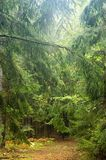 Narrow path in forest. Just after rain Royalty Free Stock Image