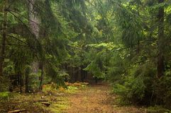 Narrow path in forest. Just after rain Stock Photography