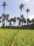 Narrow path leading through rice fields and coconut plantations stock photos