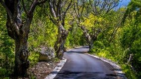 Narrow Road between Bizarre Trees on Nusa Penida Island, Bali Indonesia Royalty Free Stock Photography