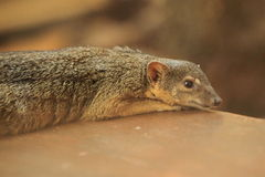 Narrow-striped mongoose Royalty Free Stock Photos