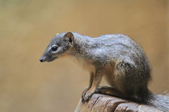 Narrow-striped mongoose. The madagascar narrow-striped mongoose on the stub Stock Photography