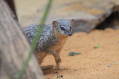 Narrow-striped mongoose Stock Image