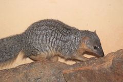 Narrow-striped mongoose Royalty Free Stock Photography