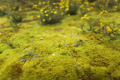 Narrow view impression of star moss in the dunes. Selectiev focus on the star moss Royalty Free Stock Photo