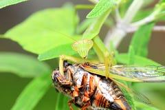 Narrow-winged Mantis Royalty Free Stock Photo