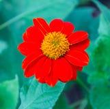 Narrowleaf cyni koloru czerwieni zieleni liść Fotografia Stock