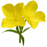 Narrowleaf evening-primrose. Flowers, mesh Stock Images