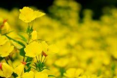 Beautiful yellow flowers in spring or summer green garden. Narrowleaf evening primrose oenothera fruticosa yellow flowers in the summer garden. Narrow primrose Royalty Free Stock Photos