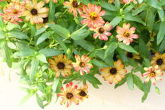 Narrowleaf Zinnia Stock Image
