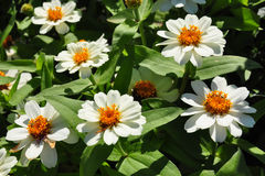 Narrowleaf zinnia (Zinnia angustifolia) Royalty Free Stock Images