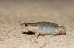 Narrowmouth Toad (Gastrophryne olivacea) Royalty Free Stock Image