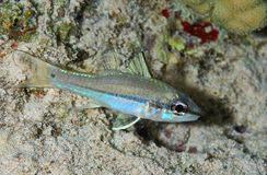 Narrowstripe cardinalfish Stock Images
