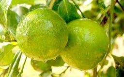 Narthankai [cedrat owoc] obwieszenie w roślinie fotografia stock