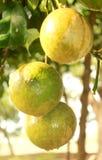 Narthankai [cedrat owoc] obwieszenie w roślinie fotografia royalty free