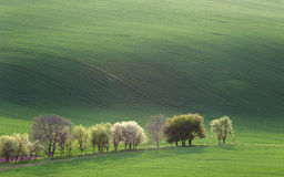 Narural minimalism  landscape of Green and Blossom Trees overloo Stock Image