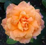 Narural rose Royalty Free Stock Photography