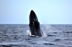 Naruszać Humpback wieloryba czerń i Piękny obraz stock