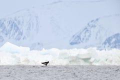 Narwal oder narwhale (Monodon monoceros) stockfotografie