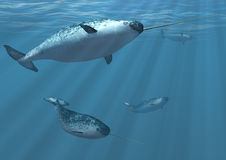 Narwhal Whales. A group of narwhal whales undersea - 3d render Royalty Free Stock Photography