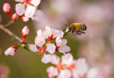 Narządzanie pszczoła zapyla kwiatu czereśniowego okwitnięcie Zdjęcia Stock