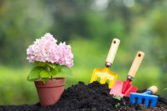 Narzędzie ogródu hortensja i ziemia kwitniemy w kwiatu garnku nad natura Obrazy Stock