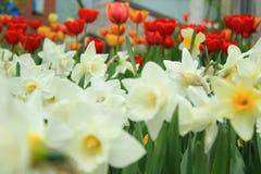 Narzisse auf dem Hintergrund von Tulpen - Frühling blüht Stockbilder