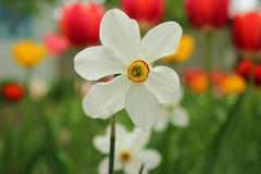 Narzisse auf dem Hintergrund von Tulpen - Frühling blüht Lizenzfreie Stockfotografie