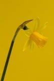 Narzisse auf Gelb Lizenzfreie Stockfotos