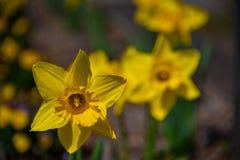 Narzisse im Frühjahr Blühende Narzissen, Frühlingsbirnen lizenzfreie stockbilder