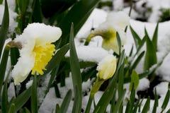 Narzisse im Schnee Stockfotografie