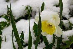Narzisse im Schnee Stockbild