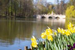 Narzisse nahe einem See im Park von Chopin Warschau Stockbilder